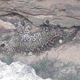 Видео с мертвым леопардом в Мангистау распространяют в Казнете